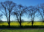 Bäume vor Rapsfeld